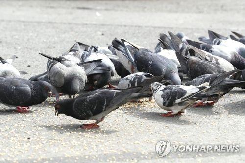"""""""헉 비둘기다 도망가자"""" 비둘기는 왜 혐오대상이 돼버렸나"""