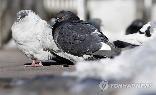비둘기들이 날개를 접고 몸을 움츠리고 있는 모습 [이미지출처=연합뉴스]