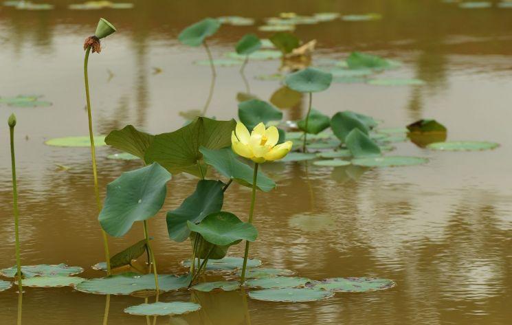 장성 황룡강에 '황련'이 고귀한 자태로 피어있다. 연꽃의 꽃말은 순결, 신성, 청정이다. 사진=장성군 제공