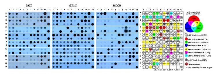 호메오단백질의 세포 분비능 평가 결과