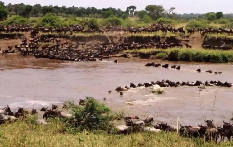 악어가 득시글한 강으로 뛰어들어 강을 건너는 누떼. [사진=유튜브 화면캡처]