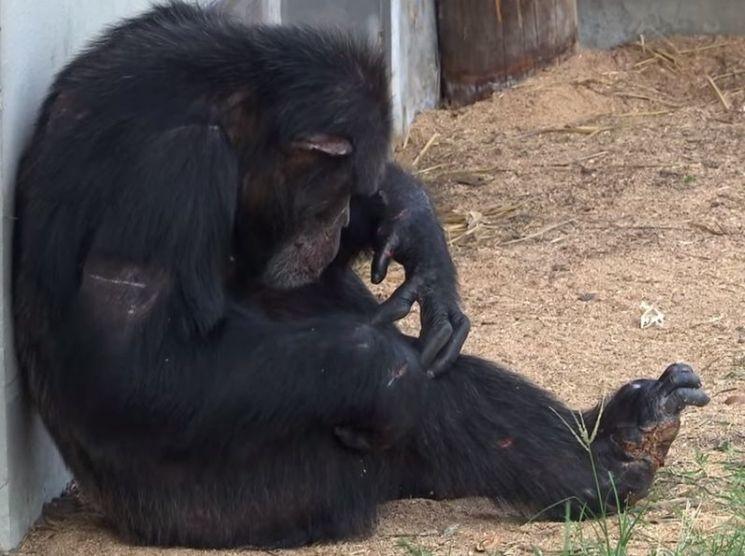 엄마를 잃은 후 우울증을 앓던 아들 침팬지가 한 달 뒤 숨졌습니다. 아들 침팬지는 자살한 것이 아닐까요? [사진=유튜브 화면캡처]