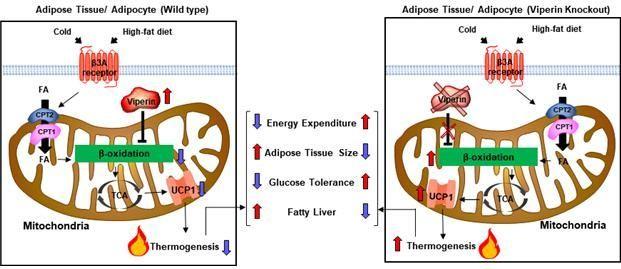 바이페린 단백질은 지방조직의 지방세포에서 미토콘드리아 지방산 산화과정을 제어함으로써 열발생을 조절해 대사표현형에 영향을 준다.