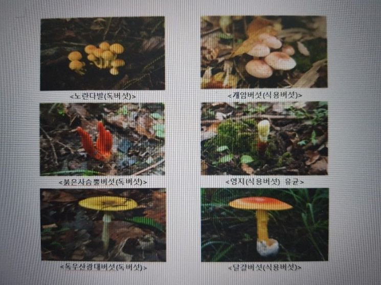 야생버섯 함부로 먹으면 위험 '노란다발-개암버섯' 등 구분 어려워