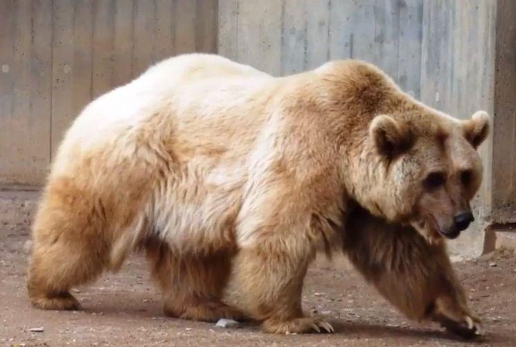 기후변화로 북극곰과 회색곰의 서식지가 겹치면서 탄생한 '그롤라 곰' [사진=유튜브 화면캡처]