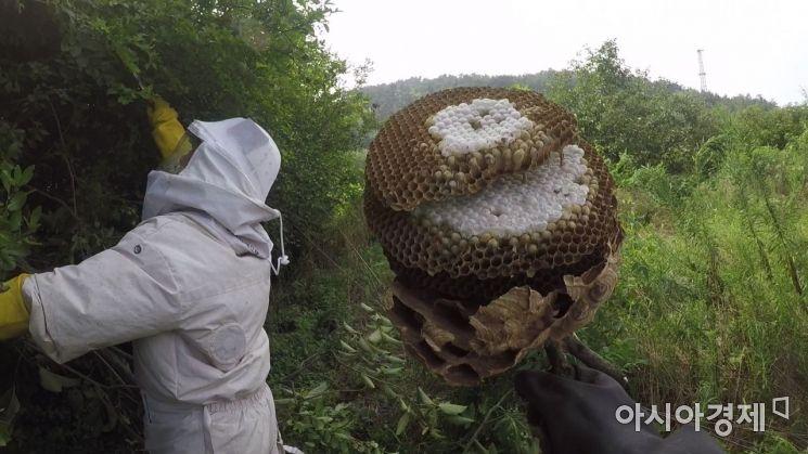 최근 양봉농가에 막대한 피해를 끼치고 있는 외래종 등검은말벌의 집 모습. 한 군집이 1500~2000마리 가까이 되기 때문에 갈수록 피해가 확산되고 있는 실정이다. 사진 = 김현우PD