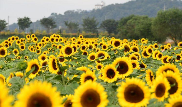 장성 황룡강 노란꽃잔치, 5일 '팡파르'