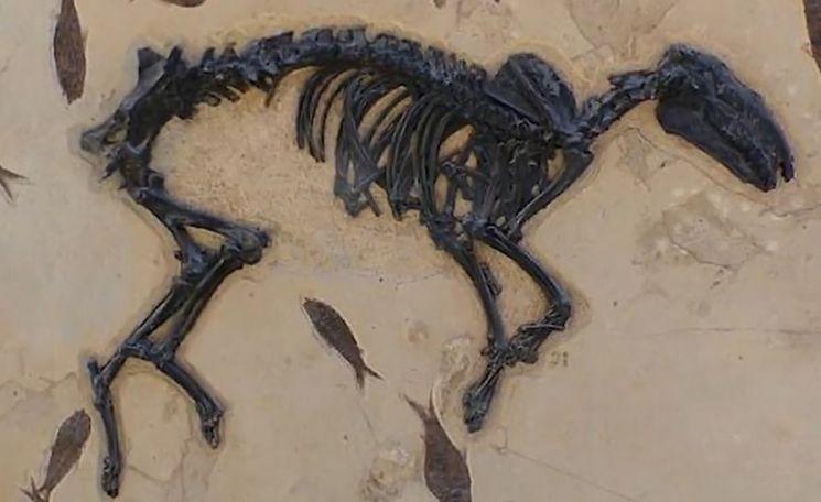 원래 여러 개의 발가락을 가진 말의 화석. 더 빨리 달릴 수 있도록 진화하면서 발가락 숫자가 줄어든 것입니다. [사진=유튜브 화면캡처]