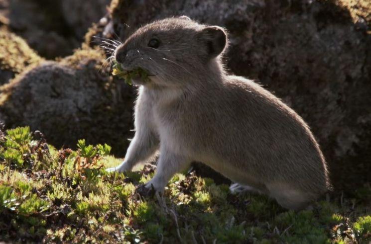 북아메리카 서부 고원 산맥지역에 서식하는 새앙토끼는 기후변화에 개체수가 줄었지만 출산 등 생애 빅이벤트 시기를 조절해 살아 남았습니다. [사진=유튜브 화면캡처]
