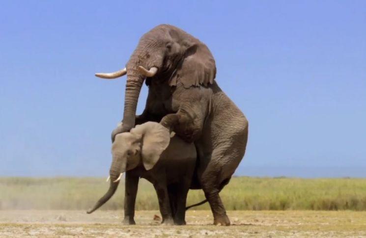 아프리카 수코끼리는 나이가 들수록 성욕이 더욱 왕성해지고 활동도 활발해집니다. [사진=유튜브 화면캡처]