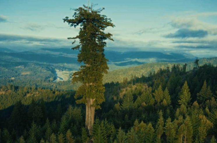 미국 캘리포니아 레드우드 국립공원의 아메리카 삼나무 군락에서 우뚝 솓은 '히페리온'. 그러나 일반 트레커들이 숲에서 어떤 나무인지 구분하기는 어렵습니다. 보호를 위해 이름표를 붙여놓지 않았기 때문입니다.  [사진=유튜브 화면캡처]