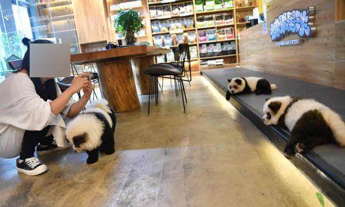 중국 청두에 있는 한 애견 카페서 판다 분장을 위해 염색한 차우차우 강아지/사진=가디언 캡처