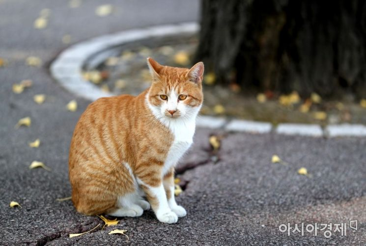 쾌청한 가을 날씨가 이어진 30일 서울 광진구 건국대학교에서 고양이 한 마리가 낙엽 옆에 앉아 생각에 잠겨 있다. /문호남 기자 munonam@