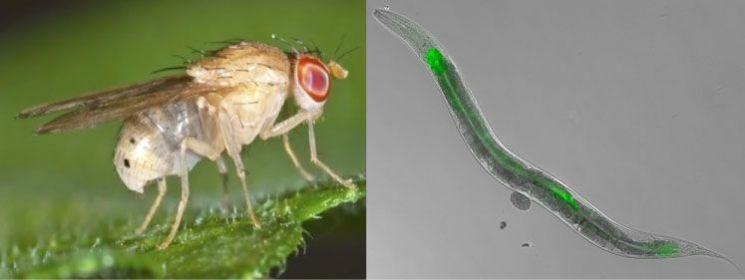 과학자들이 좋아하는 모델생물 중에는 '초파리(왼쪽)'와 '예쁜꼬마선충'도 있습니다. [사진=유튜브 화면캡처]