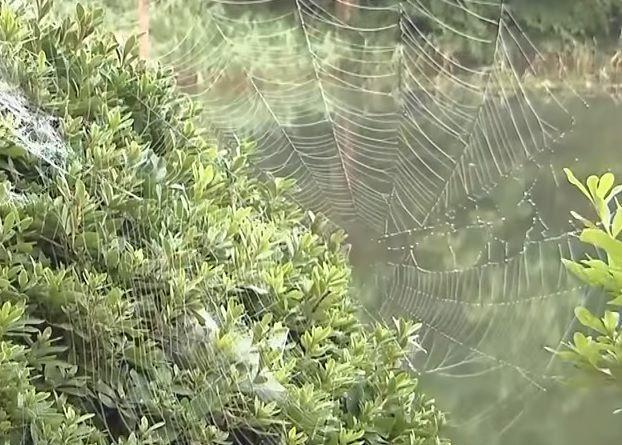 거미줄은 단백질로 구성돼 있는데 미생물(박테리아)가 거미줄을 분해할 수 없도록 몸 속에서 특수한 화학물질을 분비해 미리 대비한다고 합니다. [사진=유튜브 화면캡처]