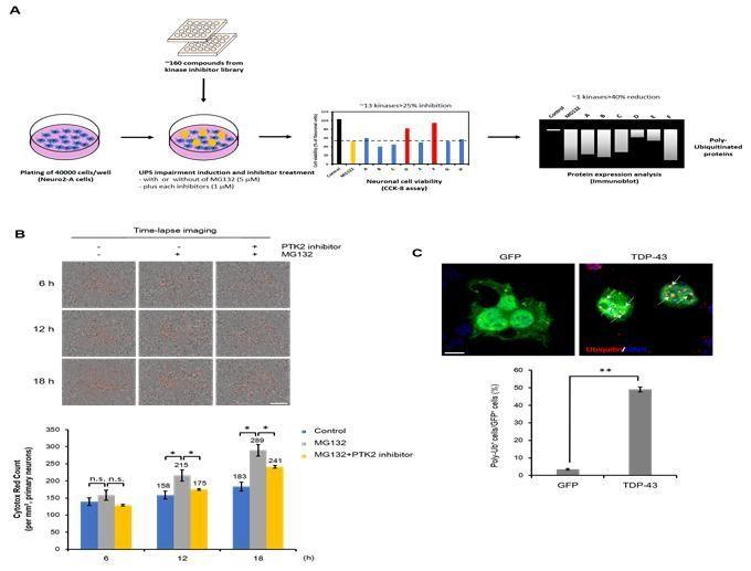 TDP-43 단백질 병증 신경세포 모델 구축