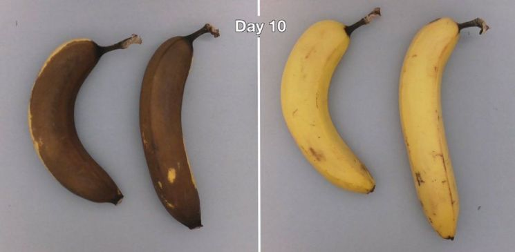 코팅한 바나나(오른쪽)와 코팅하지 않은 바나나의 차이는 극명합니다. [사진= Apeel Sciences]