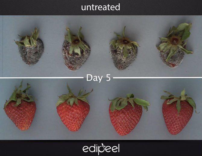 코팅제를 바른 딸기(아래)는 5일이 지나도 생생합니다. [사진= Apeel Sciences]