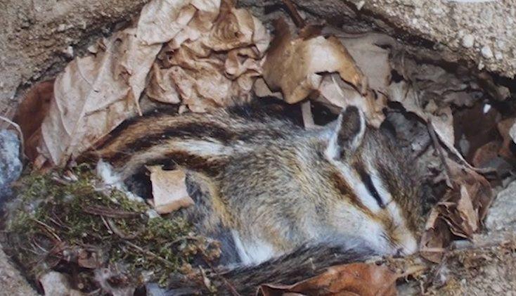 땅 속에서 겨울잠을 자는 다람쥐의 모습. [사진=유튜브 화면캡처]
