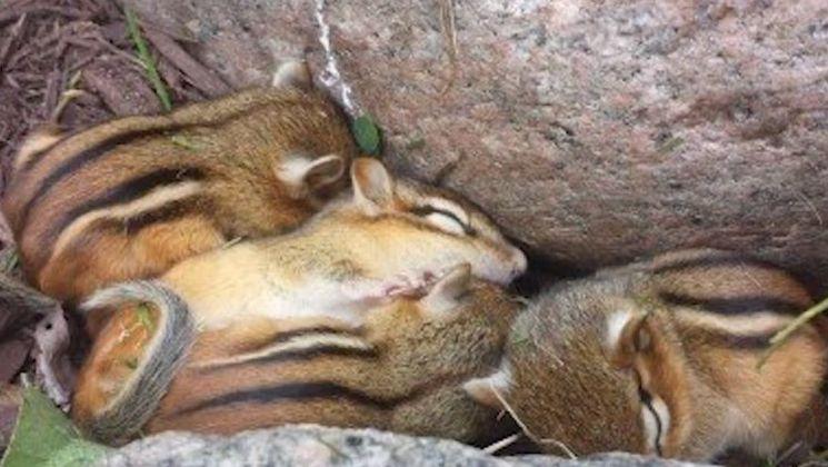 함께 잠든 다람쥐 가족의 모습. [사진=유튜브 화면캡처]