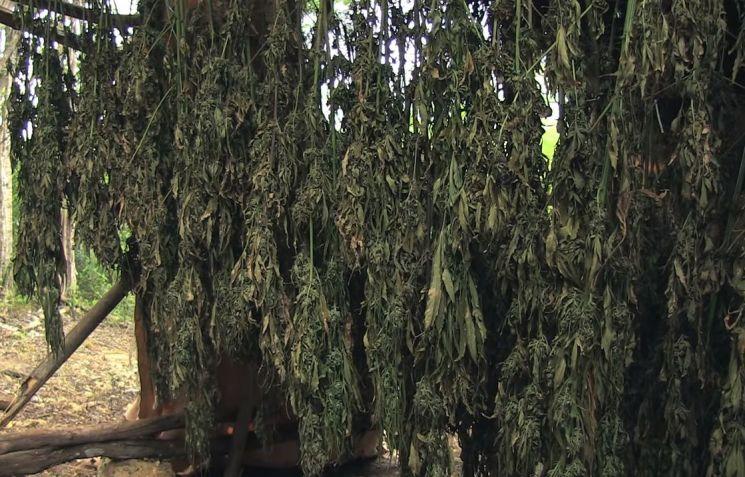 마리화나 재배지에서 마리화나를 말리고 있는 모습. [사진=유튜브 화면캡처]