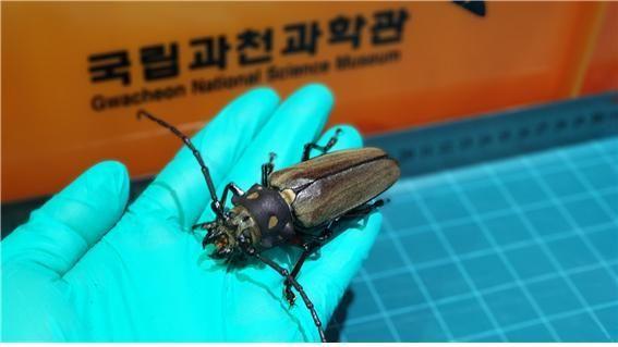 장수하늘소 수컷 어른벌레 모습(12월11일)