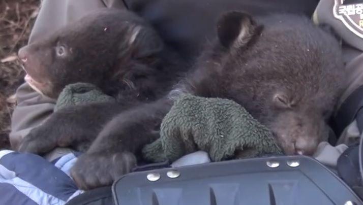 겨울잠을 자고 있는 지리산반달가슴곰의 새끼들입니다. 겨울잠을 잘 때 찾아가 건강을 체크해준다고 합니다. [사진=유튜브 화면캡처]
