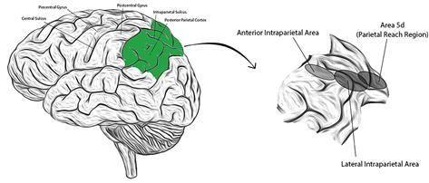 대뇌 내 후두정피질의 위치