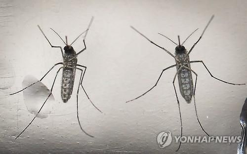 지카바이러스를 유발하는 이집트숲모기 [이미지출처=연합뉴스]