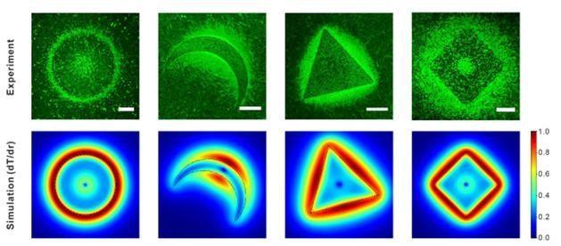 빛과 열을 이용해 미생물의 집단행동을 실시간 관찰한 결과다. 위 그림은 다양한 모양의 마이크로판 근처에 형성된 생물막의 현미경 관찰 결과이며 동일한 구조에 대해 열전달 시뮬레이션을 이용해 얻은 마이크로판 근처의 온도분포변화율이다.