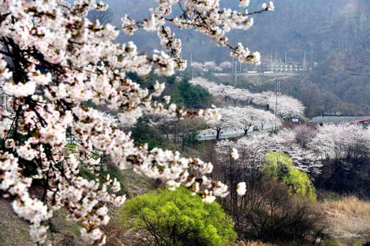 82번 국도는 청풍호반 드라이브 명소답게 굽이굽이 연분홍 벚꽃길이 11km넘게 이어진다. 그림같은 호반과 봄꽃들이 그려내는 풍경은 환상적이지만 올해는 참고 내년에 꼭 달려보시길 바란다.