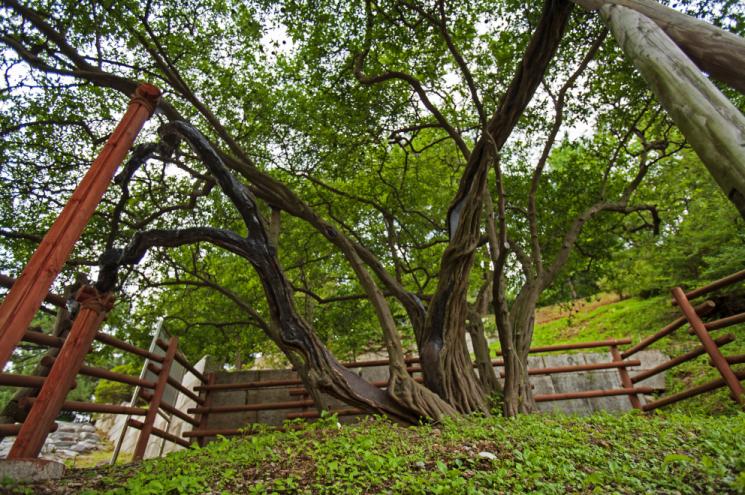 강화 갑곶리 탱자나무는 긴 세월을 살아오며 줄기 곳곳에 상처가 남아있지만, 여전히 건강한 자태를 유지하고 있다.