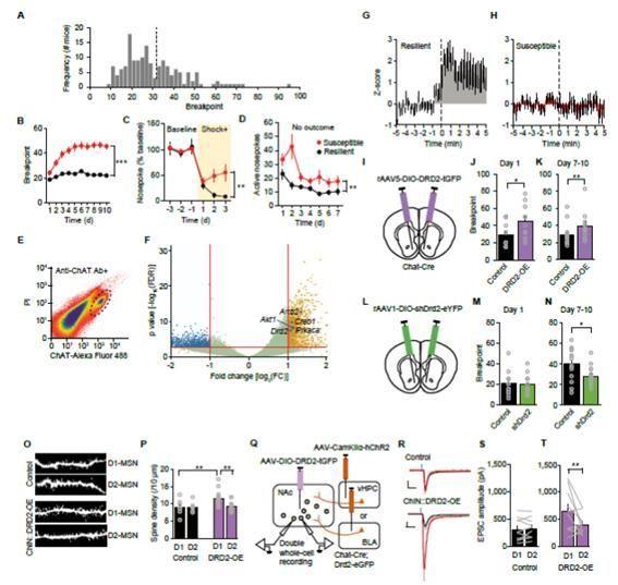 중격의지핵 내 콜린성 뉴런의 DRD2 과발현에 의해 유도된 코카인 중독 행동 규명