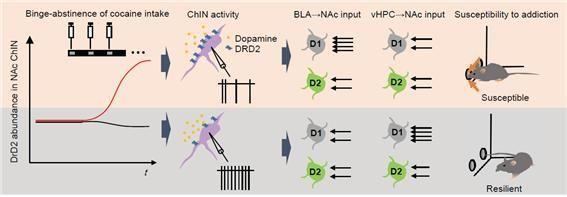 약물 중독 마우스와 비 중독 마우스의 콜린성 뉴런에서 일어나는 생리학적 변화 모델