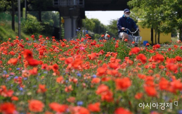 전국 맑고 초여름 날씨를 보인 5월29일 서울 영등포구 양화한강공원에 양귀비 꽃이 활짝 피어 있는 모습.