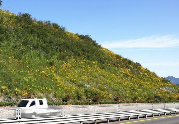 금계국, 아름다운 초여름 풍경을 연출