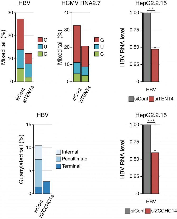 TENT4 단백질과 (아래) ZCCHC14 단백질 결핍시 두 바이러스의 혼합꼬리가 줄어들고 RNA 안정성이 줄어든다.