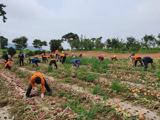 무안소방서 직원들이 양파 농가를 찾아 일손 돕기를 했다. (사진=무안소방서 제공)