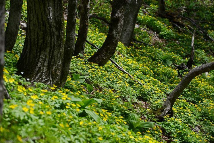 금대봉 피나무 군락