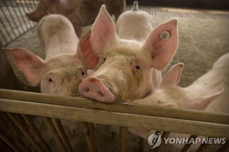 중국 돼지농장 / 사진=연합뉴스