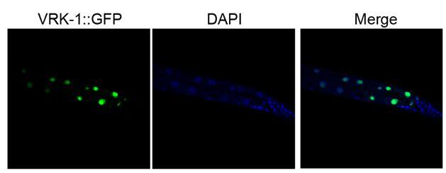 예쁜꼬마선충의 VRK-1을 초록 형광 단백질 (GFP)로 표지하여 장 세포 내 위치를 나타내었다. 장 세포의 VRK-1은 DNA 염색 (DAPI 염색)을 통해 나타내어진 핵과 동일한 위치에서 나타나는 것으로 보아 핵 내부에 존재하고 있음을 알 수 있다.