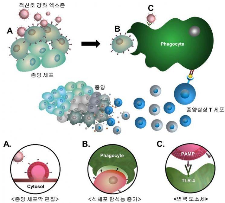 KIST 연구진이 엑소좀을 이용해 암세포 표면에 표적 신호를 전달하고(A), 적신호가 이식된 암세포가 면역세포를 활성화시켜(B-C), 암을 효과적으로 제거할 수 있다는 내용을 담고 있는 모식도다.