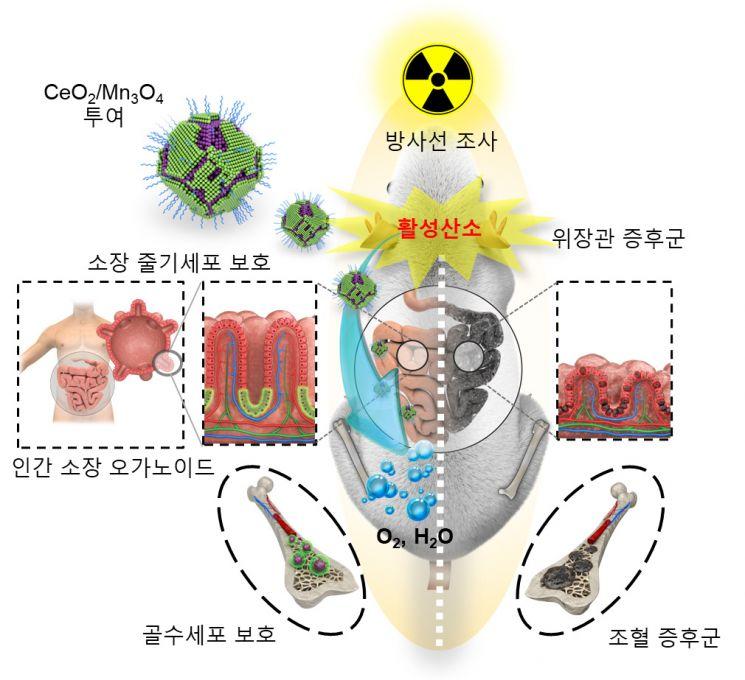 세륨-망간 산화물 헤테로 나노입자의 방사선 보호 효과