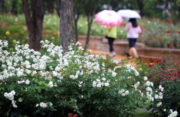 전국적으로 흐리거나 비가 내린 7월12일 오후 대구 서구 도심 속 산책길인 '그린웨이'의 장미원에서 만개한 꽃들 사이로 시민들이 산책을 즐기고 있다. [이미지출처=연합뉴스]