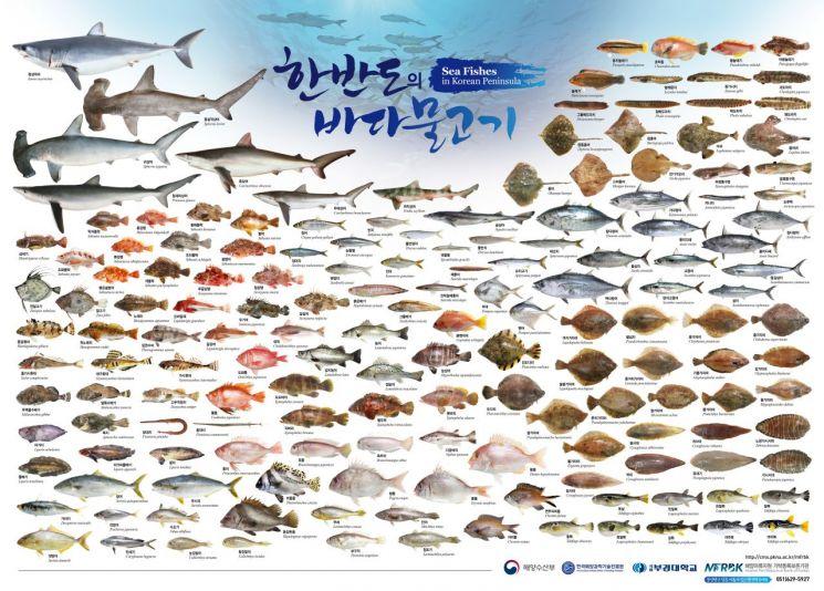 부경대 해양어류자원 기탁등록보존기관이 제작한 한반도의 바다물고기 포스터.