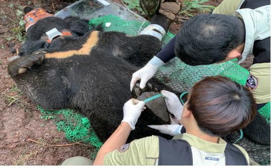 반달가슴곰 신체 측정 사진(출처=국립공원공단)