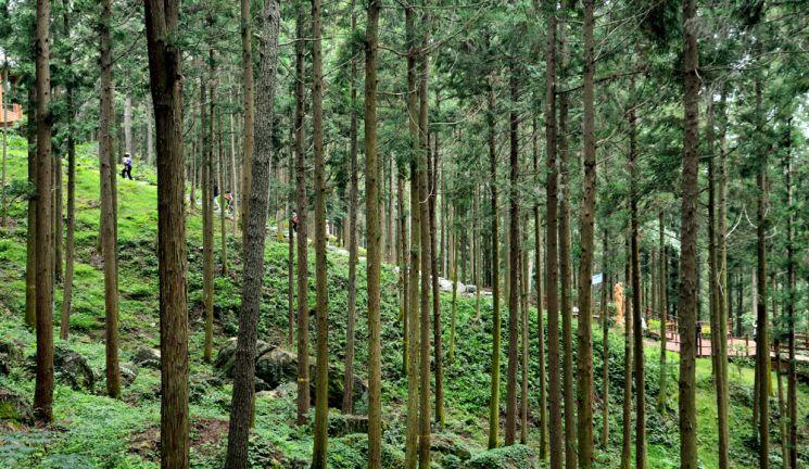 억불산 편백숲을 걷고 있는 여행객들