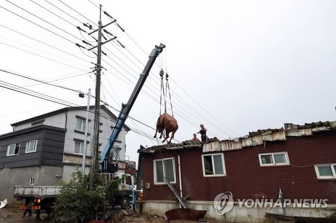 10일 오전 전남 구례군 구례읍의 한 마을 주택 지붕 위에서 119대원들이 소를 구조하고 있다. [이미지출처=연합뉴스]