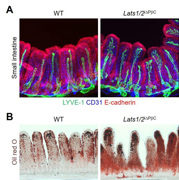 소장 융모 내 기질세포에서 얍/태즈(YAP/TAZ)를 과도하게 활성화시킨 결과, 암죽관(초록색)이 비정상적으로 발아하고 증식해 형태가 변화된 모습(A)과 지방(빨간색) 흡수 기능이 저하된 모습(B).