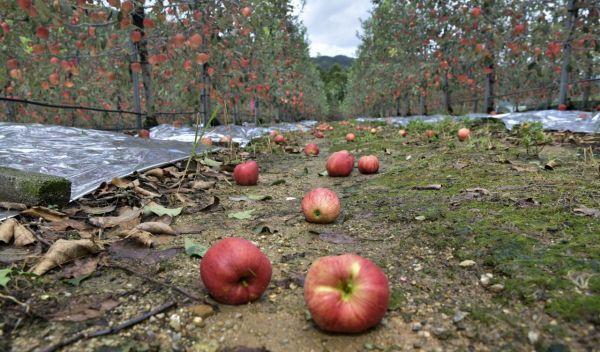 지난해 9월3일 전라북도 장수군 한 과수원 바닥에 수확을 앞둔 사과가 태풍 '마이삭' 때문에 떨어져 있는 모습.(사진제공=장수군) [이미지출처=연합뉴스]